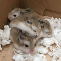 4 Young Robo Hamsters - Lancaster $10 each